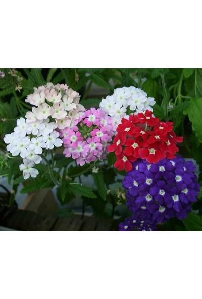 Plantistanbul Mine Çiçeği Karışık Renk Çiçek Tohumu +- 50 Adet