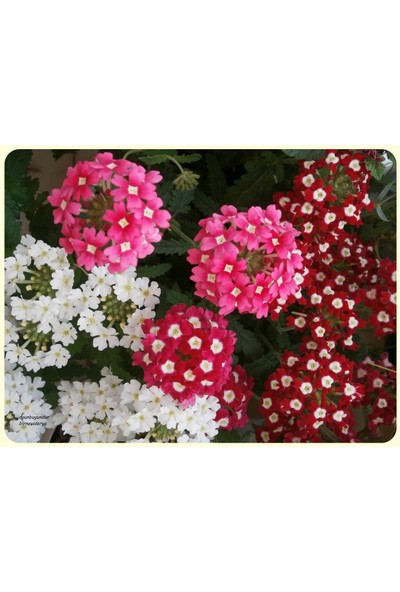 Plantistanbul Yer Minesi Karışık Renk Çiçek Tohumu +- 50 Adet