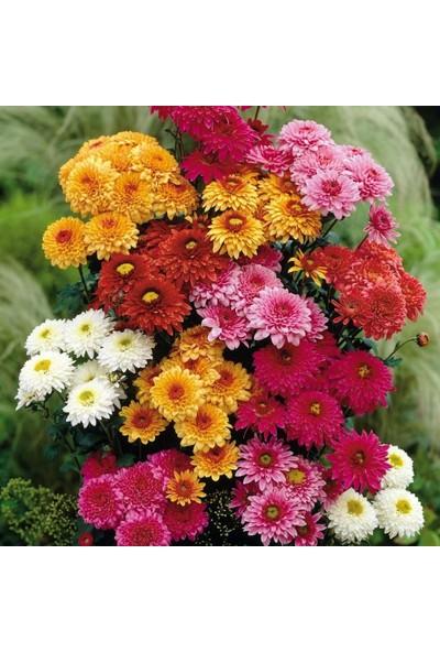 Plantistanbul Kasımpatı Çiçeği Karışık Renk Çiçek Tohumu +- 290 Adet