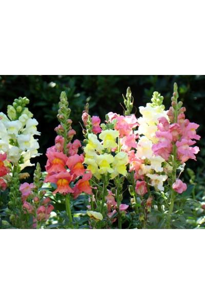 Plantistanbul Aslanağzı Karışık Renk Çiçek Tohumu +- 3000 Adet