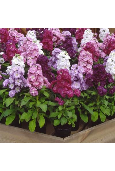 Plantistanbul Şebboy Çiçeği Pembe Çiçek Tohumu +- 50 Adet