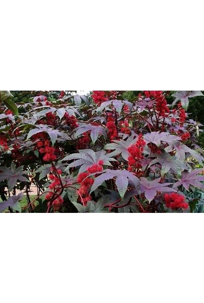 Plantistanbul Hint Yağı Çiçeği (Kene Çiçeği) Tohumu +- 5 Adet