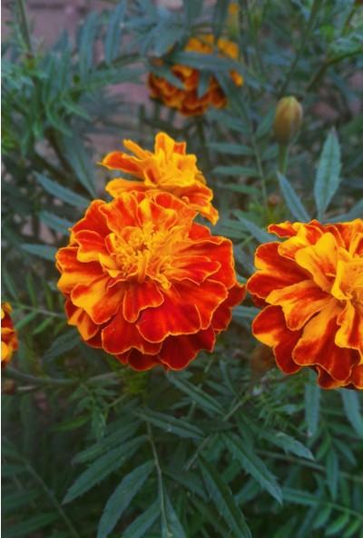 Plantistanbul Karagöz Kadife Çiçeği Karışık Renk Çiçek Tohumu +- 40 Adet