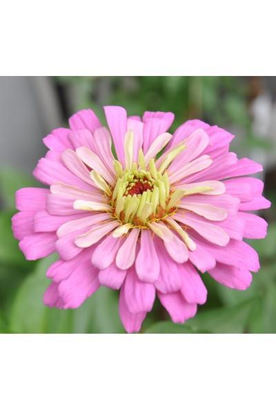 Plantistanbul Sungurlu Kadife Çiçeği Karışık Renk Çiçek Tohumu +- 50 Adet