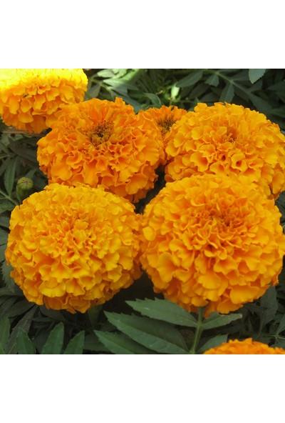 Plantistanbul Top Kadife Turuncu Renk Çiçek Tohumu +50 Adet