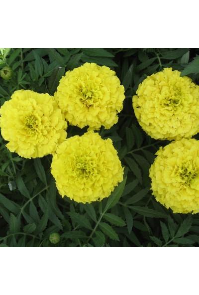 Plantistanbul Top Kadife Sarı Renk Çiçek Tohumu +50 Adet