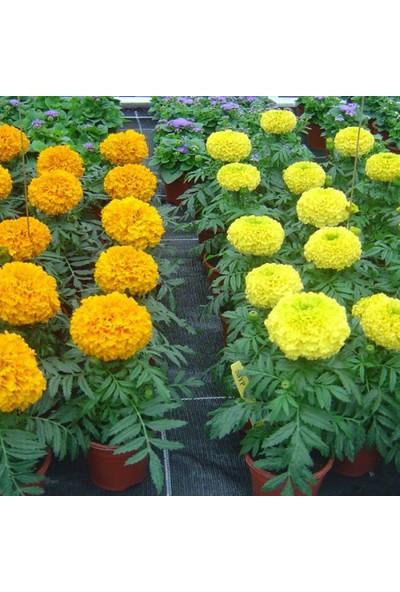 Plantistanbul İri Top Kadife Karışık Renk Çiçek Tohumu +50 Adet