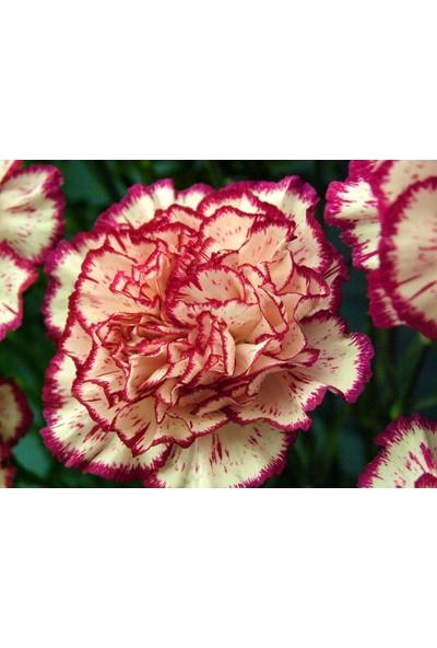 Plantistanbul Karanfil Kırmızı-Beyaz Çizgili Çiçek Tohumu +-50 Adet