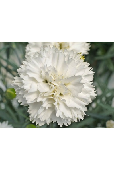Plantistanbul Karanfil Beyaz Renk Çiçek Tohumu +-50 Adet