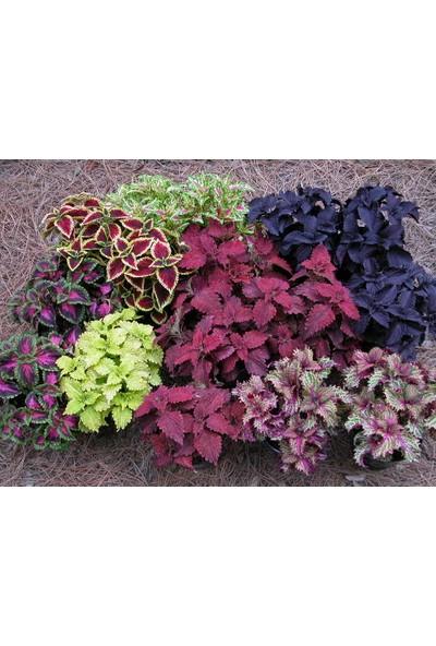 Plantistanbul Yaprak Güzeli Çiçeği Karışık Renk Tohumu +-700 Adet