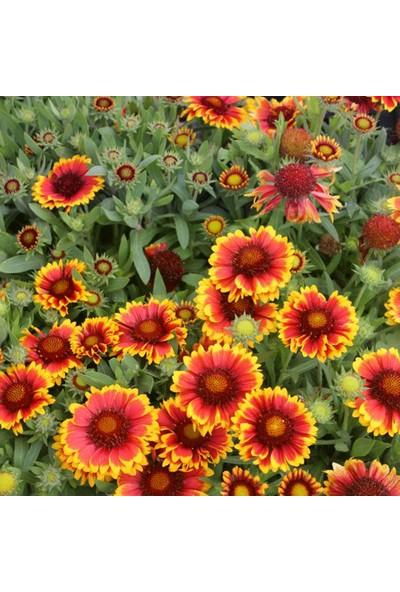 Plantistanbul Menaz (Ay Yıldız) Çiçeği, Gayret Çiçeği Karışık Renk Çiçek Tohumu +- 190 Adet