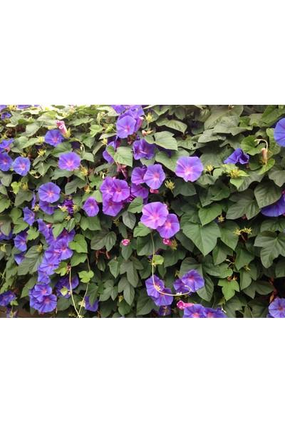 Plantistanbul Sarmaşık Çiçeği Karışık Renk Çiçek Tohumu +- 12 Adet