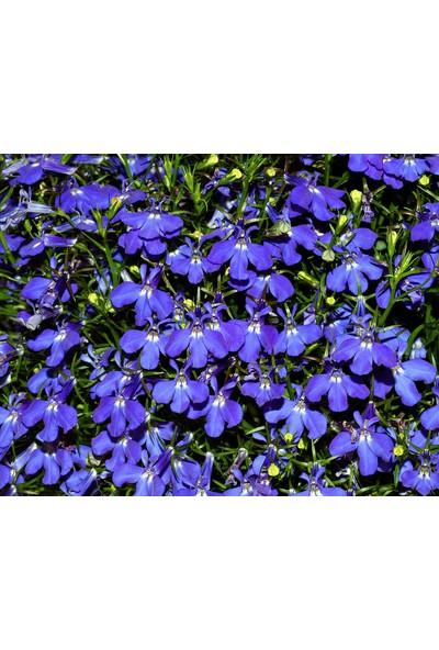 Plantistanbul Lobelia Kardinal Mavi Renk Çiçek Tohumu +-100 Adet