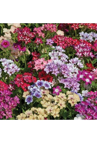 Plantistanbul Alev Çiçeği Alto Karışık Renk Çiçek Tohumu +- 340 Adet