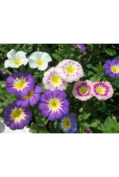 Plantistanbul Gündüz Sefası Karışık Renk Çiçek Tohumu +- 10 Adet