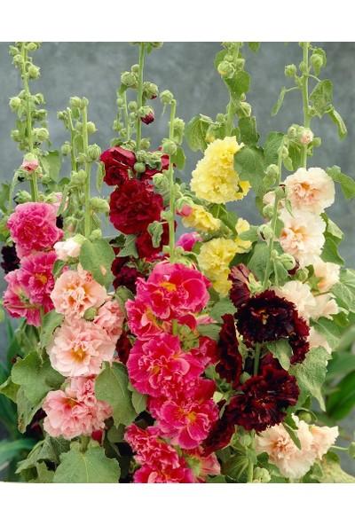 Plantistanbul Katmerli Gül Hatmi Çiçeği Karışık Renk Çiçek Tohumu +-40 Adet