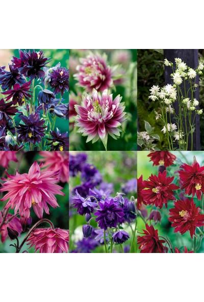 Plantistanbul Katmerli Haseki Küpesi Çiçeği Karışık Renk Çiçek Tohumu +-400 Adet