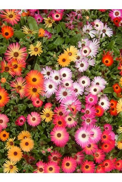 Plantistanbul Afrika Papatyası Çiçeği Karışık Renk Çiçek Tohumu +- 30 Adet