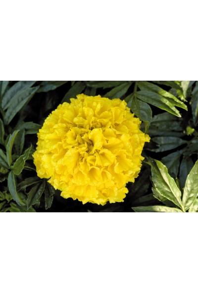 Plantistanbul Top Kadife Çiçeği Sarı Renk Çiçek Tohumu +- 50 Adet