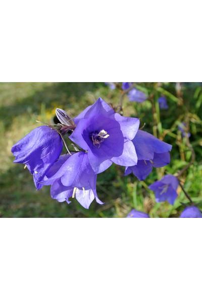 Plantistanbul Çan Çiçeği Karışık Renk Çiçek Tohumu +- 150 Adet