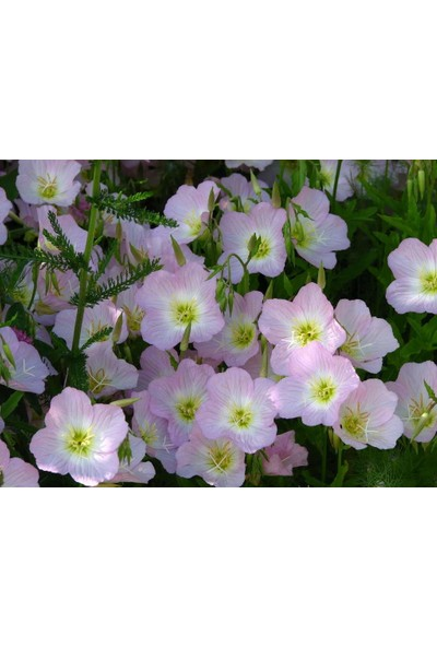 Plantistanbul Pembe Ezan Çiçeği Çiçek Tohumu +-50 Adet