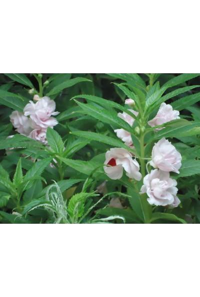 Plantistanbul Kına Çiçeği Beyaz Renk Çiçek Tohumu +-25 Adet