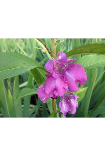 Plantistanbul Kına Çiçeği Pembe Renk Çiçek Tohumu +-25 Adet