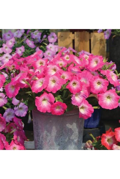 Plantistanbul Petunya Çiçeği Pembe Renk Çiçek Tohumu +-50 Adet