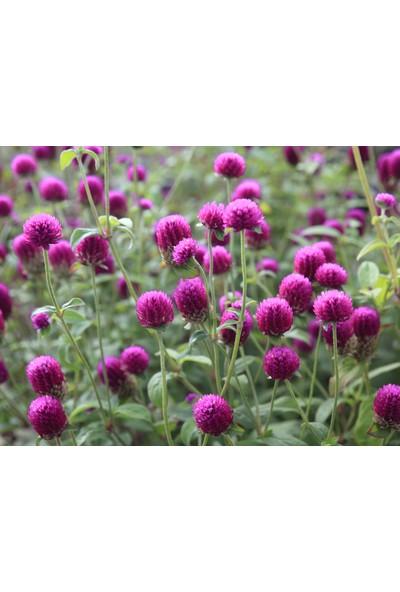 Plantistanbul Hanım Düğmesi Çiçeği Pembe Renk Çiçek Tohumu +- 30 Adet