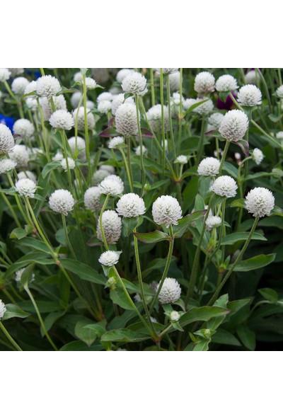 Plantistanbul Hanım Düğmesi Çiçeği Beyaz Renk Çiçek Tohumu +- 30 Adet