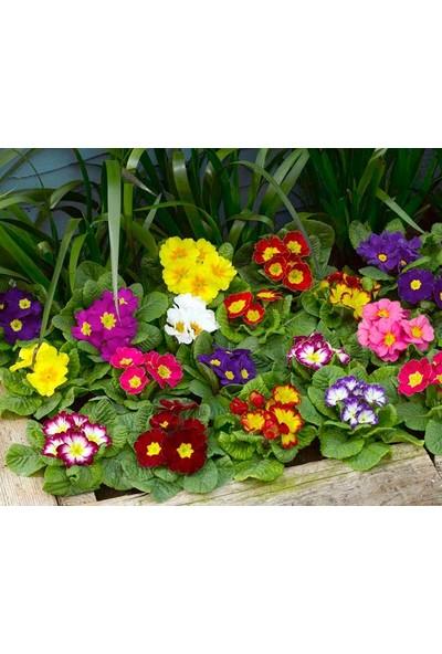 Plantistanbul Onbir Ay Çuha Çiçeği Karışık Renk Çiçek Tohumu +-50 Adet
