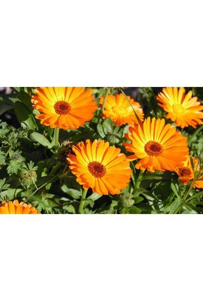 Plantistanbul Aynısafa Çiçeği Turuncu Renk Çiçek Tohumu +- 50 Adet