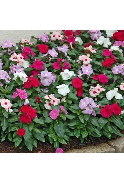 Plantistanbul Cezayir Menekşesi Çiçeği Karışık Renk Çiçek Tohumu +-140 Adet