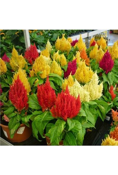 Plantistanbul Horoz İbiği Çiçeği Karışık Renk Çiçek Tohumu +-800 Adet