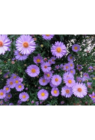 Plantistanbul Dilber Kirpiği Çiçeği Karışık Renk Çiçek Tohumu +- 100 Adet