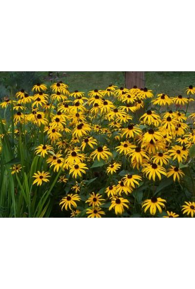 Plantistanbul Güneş Şapkası Çiçeği Çiçek Tohumu +-900 Adet