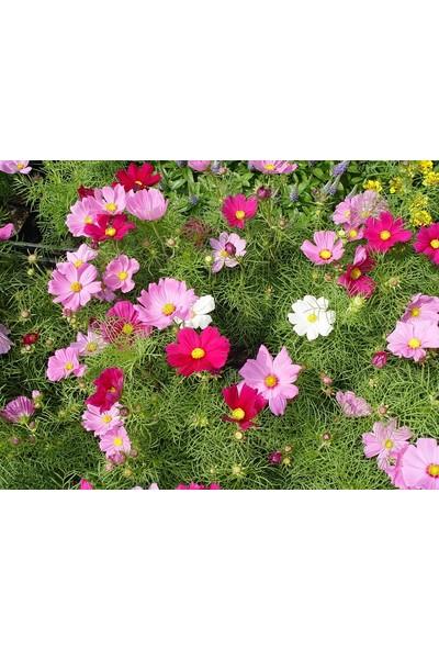 Plantistanbul Bodur Cosmos Çiçeği Karışık Renk Çiçek Tohumu +- 50 Adet