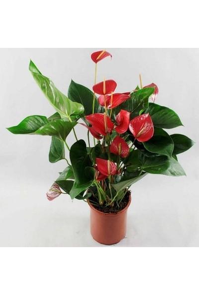 Bercestepeyzaj - Flamingo Çiçeği Anthurium Red Wınner