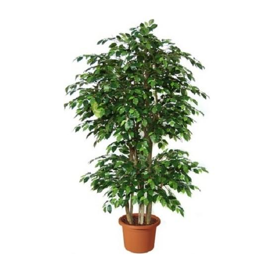 Bercestepeyzaj - Benjamin - Ficus Benjamina 120 Cm - Hava Temizleyici Ev - Ofis - Salon Bitkisi