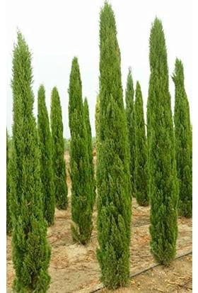 Tunç Botanik Akdeniz Servisi 30 Adet - Çit Bitkisi 40-60 Cm