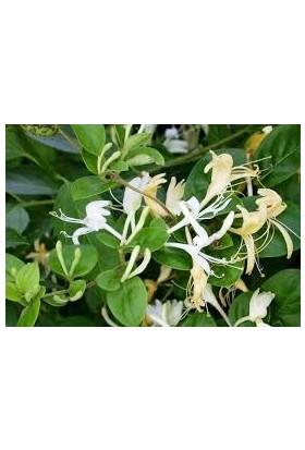 Tunç Botanik Hanımeli Sarmaşık 5 Adet Çiçekli, Kokulu, Sarılıcı Bitki