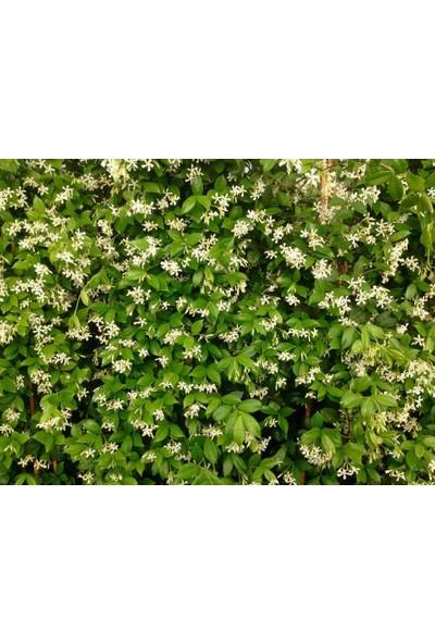 Tunç Botanik Arap Yasemini 5 Adet Büyük Boy 2.5 Metre - Çiçekli Kokulu Sarılıcı Bitki