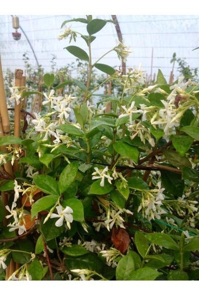 Tunç Botanik Arap Yasemini Büyük Boy 2.5 Metre - Çiçekli Kokulu Sarılıcı Bitki