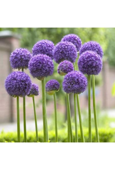 E-fidancim Gladiator Allium Çiçeği Soğanı 2 Adet