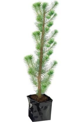 Fıstık Çam Fidanı Pinus Pinea