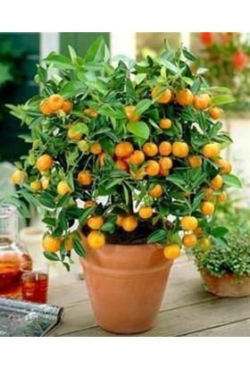Evve Bahce Tüplü Tombul Meyvesi Olan Özel Obovato Meyveli Kamkat Fidanı (5 Yaş)