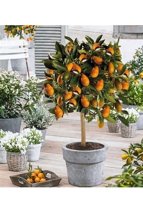 Evve Bahce Tüplü Nagami Kamkat (Kumkuat) Fidanı 5 Yaş Üzeri Meyveli