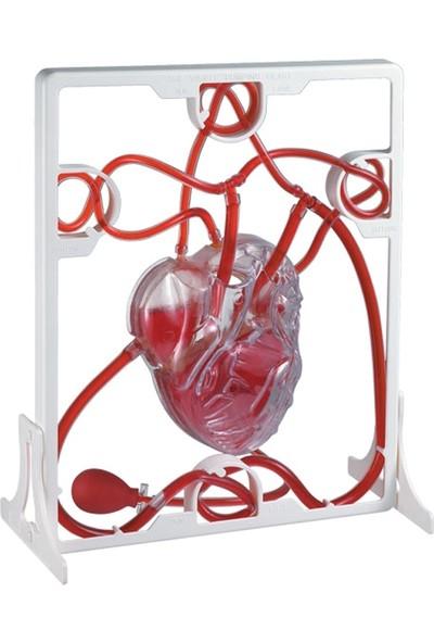 Edu Toys Hızlı - Pompalamalı Kalp Modeli 3 Boyutlu