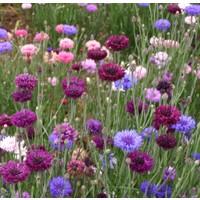 Arzuman Kontur Çiçeği 50 Tohum