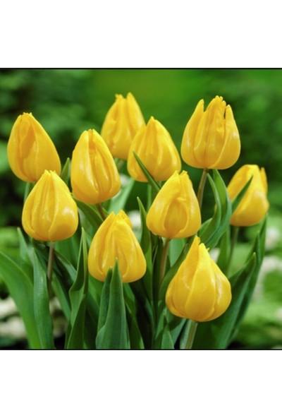 Evve Bahce Yokohama Sarı Lale Soğanı (4 Adet)